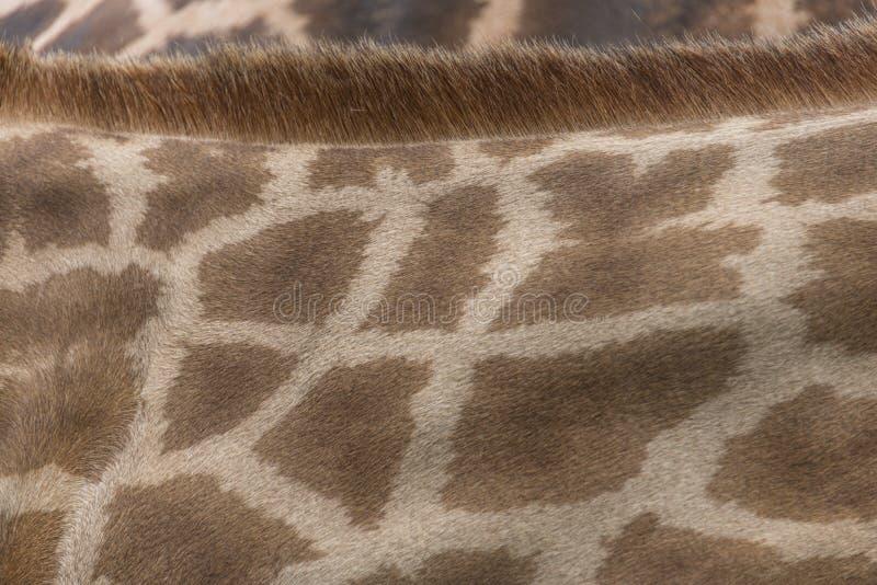 Giraffe Skin and Fur. Pattern, texture and background of giraffe skin and fur stock photo