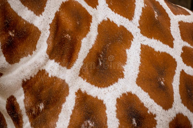Giraffe skin and fur texture and Background royalty free stock photos