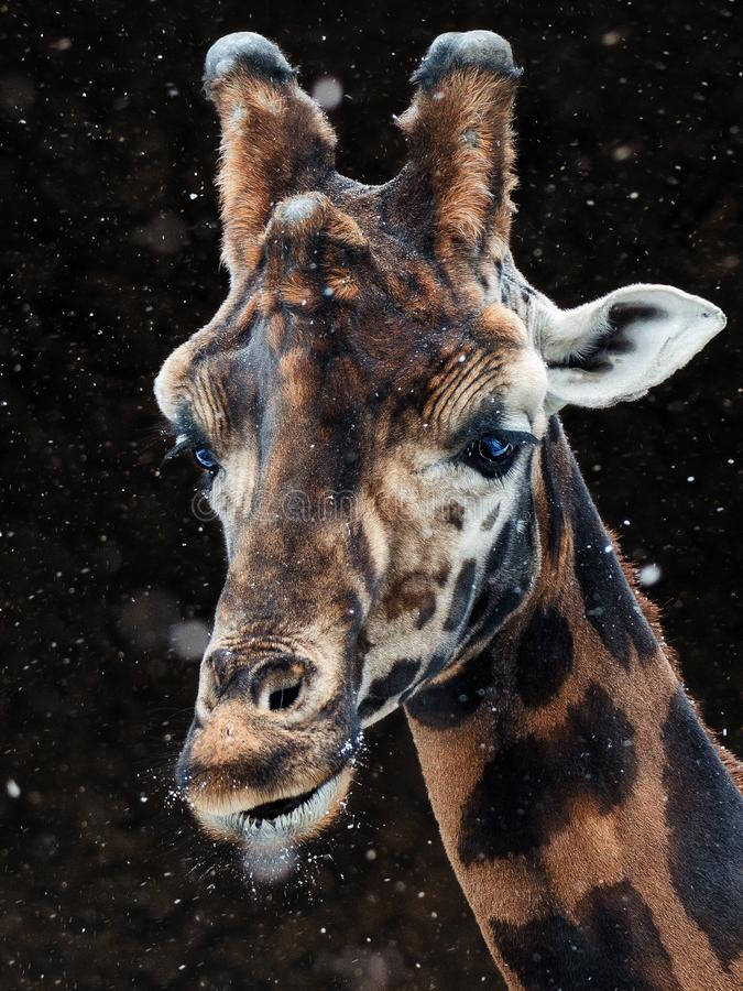 Giraffe snow royalty free stock images