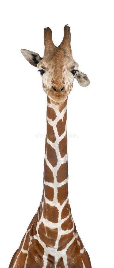 Giraffe somaliano fotos de stock royalty free