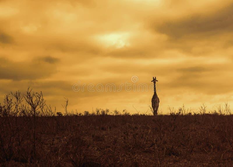 Giraffe am Sonnenuntergang lizenzfreies stockbild