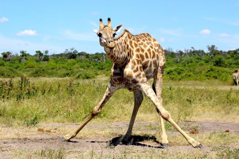Giraffe split drinking Namibia Etosha royalty free stock photography