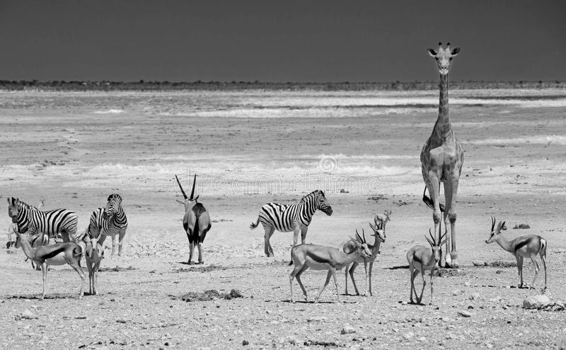 Giraffe, springbok, Zebra & Gemsbok Oryx. Monochrome image of a giraffe standing next to a busy waterhole with springbok, & Gemsbok Oryx in Etosha national park stock photo