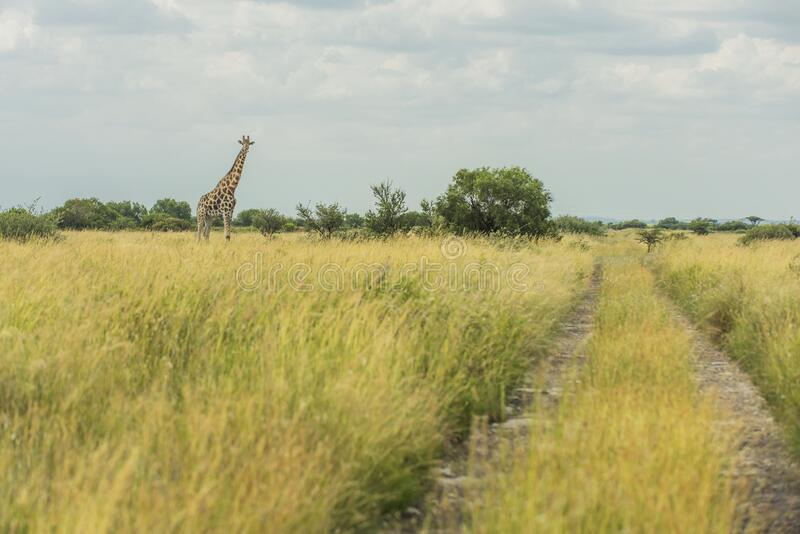 Mahikeng giraffe by the road. A giraffe standing next to a path near the city of Mahikeng in South-Africa royalty free stock images