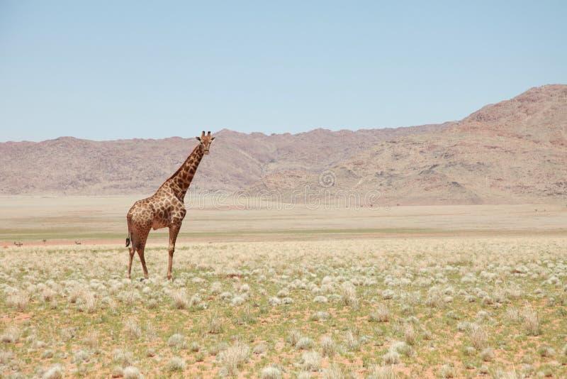 Giraffe standing in savanna