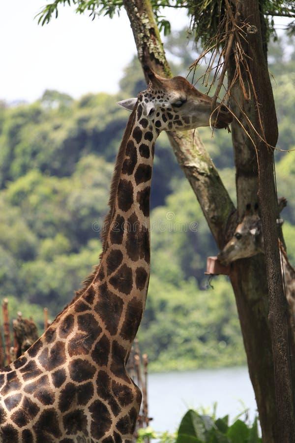 Download Giraffe 1 Stock Image - Image: 30496121