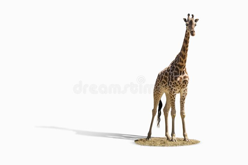 Giraffe standing on a wite background with shadow. Giraffe standing on a wite background with shadow and savannah ground stock images