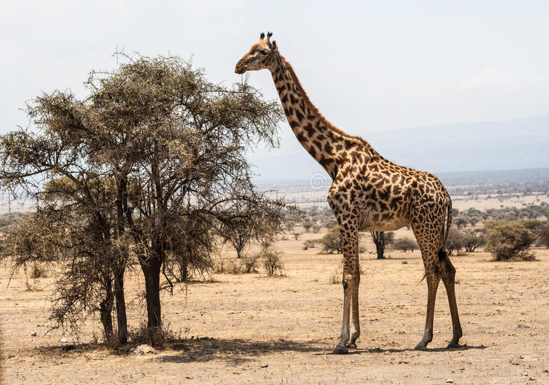 Giraffe stands before tree in the Serengeti royalty free stock photography
