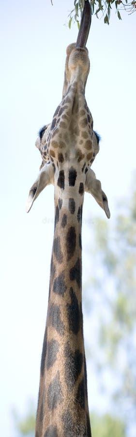Giraffe Strech panoramisch stockbild