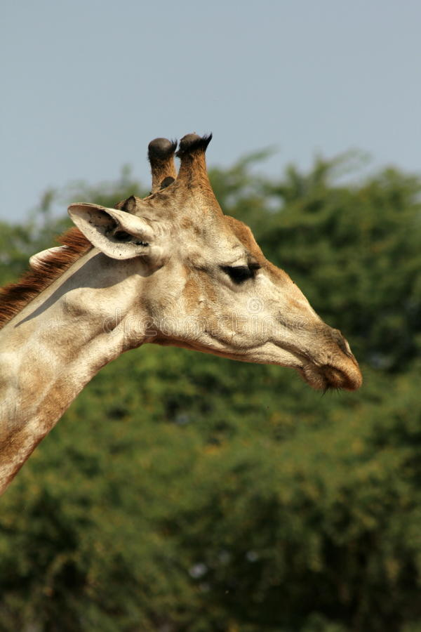 Giraffe-Stutzen u stockbilder