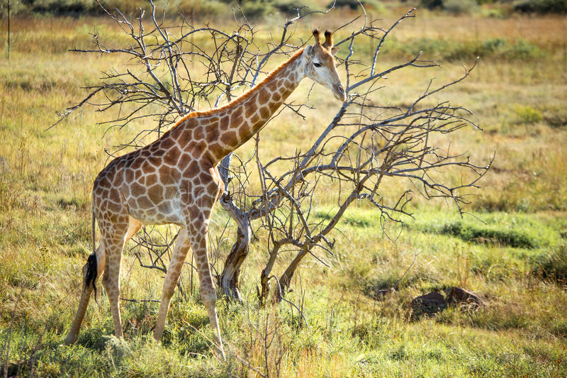 Giraffe Sun Down royalty free stock photos