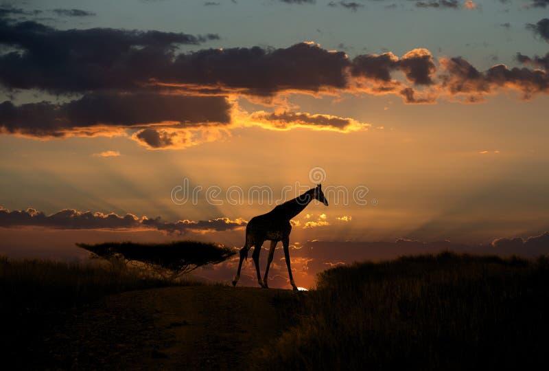 Giraffe in Sunset light on the african savannh stock images