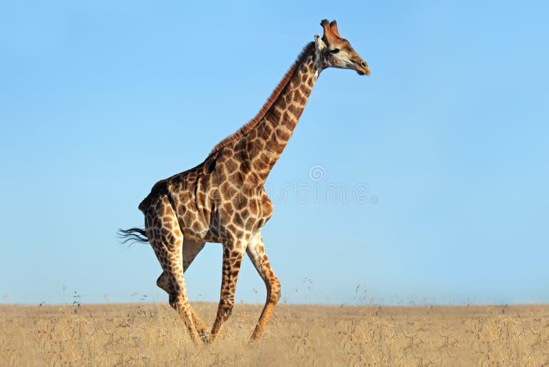 Giraffe sur les plaines africaines images libres de droits