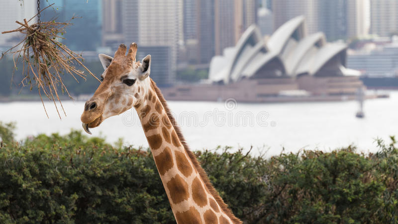 Giraffe in Sydney stockbild