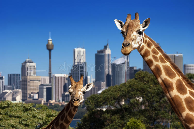 Giraffe Sydney Zoo royalty free stock photo