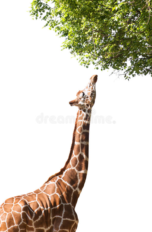 Download Giraffe Takes Food, Isolated Stock Image - Image: 22268561