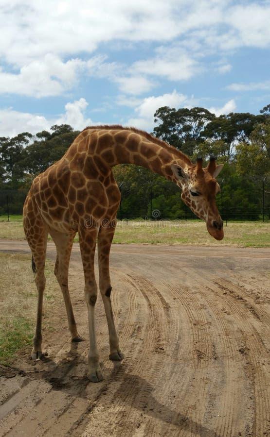 Download Giraffe stock image. Image of pattern, safari, tall - 105367097