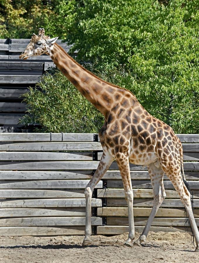 Giraffe 5. Giraffe - the tallest living terrestrial animal and the largest ruminant. Latin name - Giraffa camelopardalis royalty free stock photo