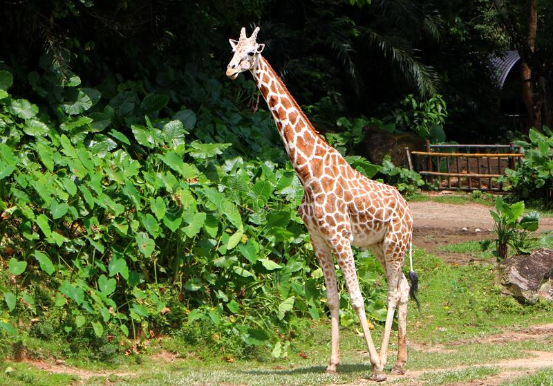 The giraffe is the tallest living terrestrial animals. The giraffe Giraffa is a genus of African even-toed ungulate mammals, the tallest living terrestrial stock images