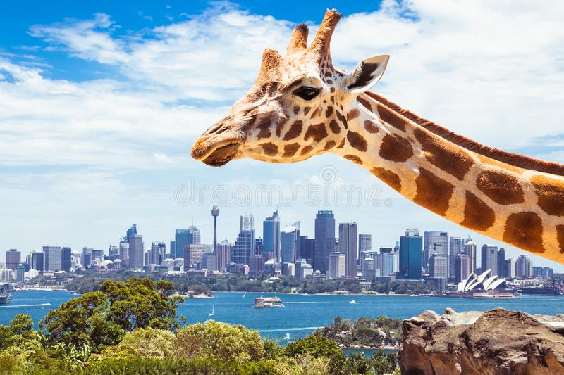 Giraffe at Taronga Zoo in Sydney. Australia. stock photo