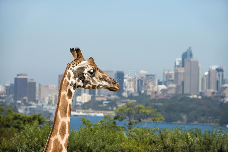 Giraffe at Taronga zoo, Sydney, Australia stock images