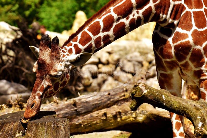 Giraffe, Terrestrial Animal, Giraffidae, Fauna stock photography