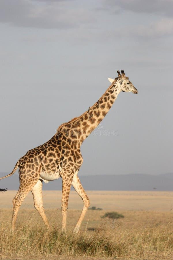 Giraffe, Terrestrial Animal, Wildlife, Ecosystem stock photos