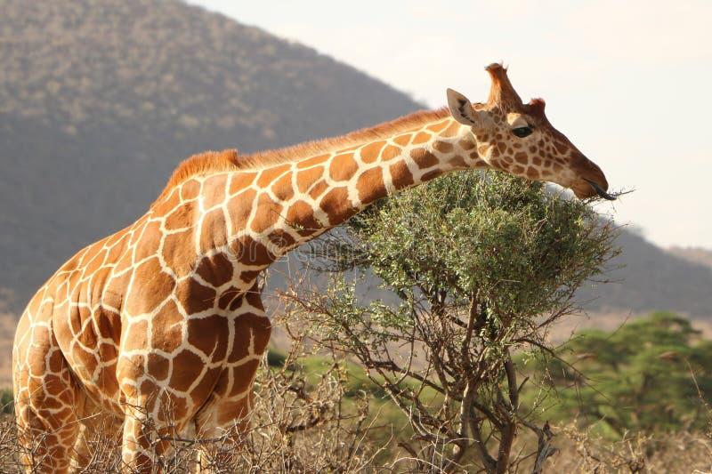 Giraffe, Terrestrial Animal, Wildlife, Fauna royalty free stock photo