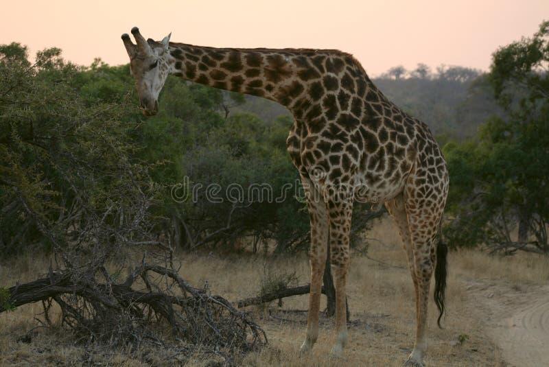 Giraffe, Terrestrial Animal, Wildlife, Fauna stock photo