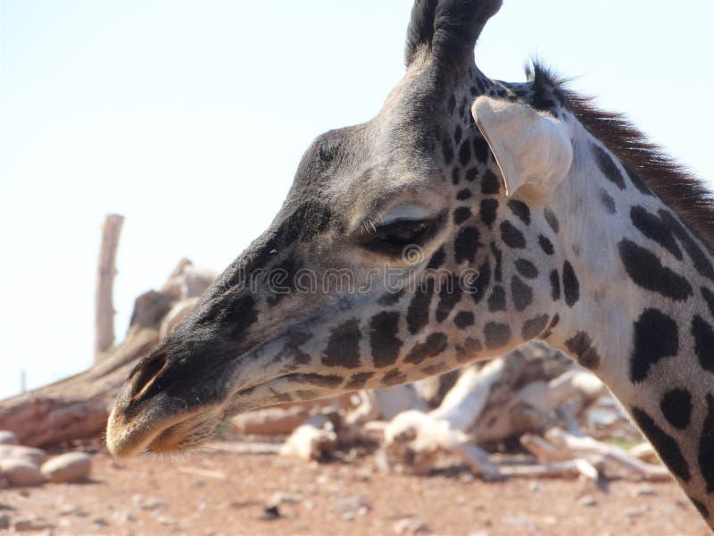 Giraffe, Terrestrial Animal, Wildlife, Fauna royalty free stock image