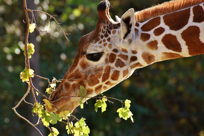 Giraffe, Terrestrial Animal, Wildlife, Fauna royalty free stock images