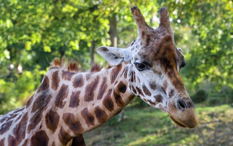 Giraffe, Terrestrial Animal, Wildlife, Fauna royalty free stock photos