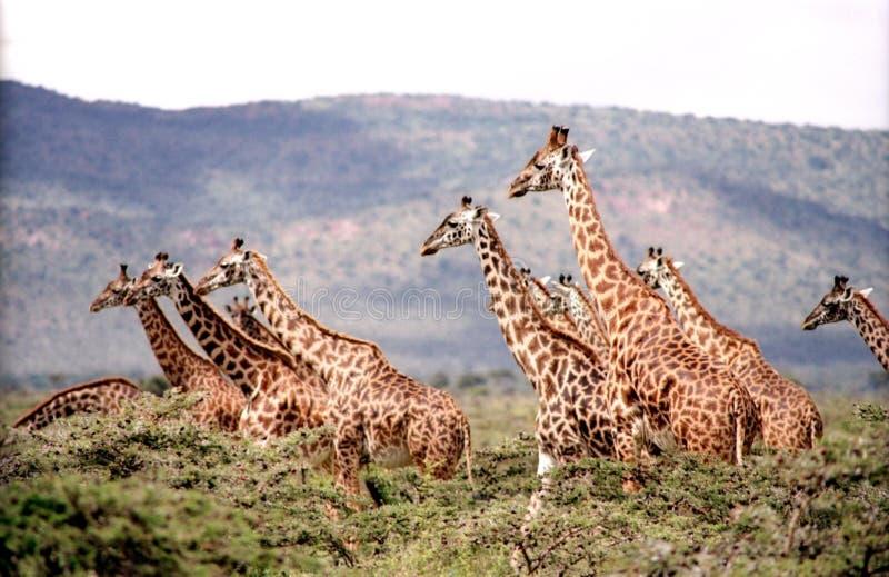 Giraffe, Terrestrial Animal, Wildlife, Fauna stock photos