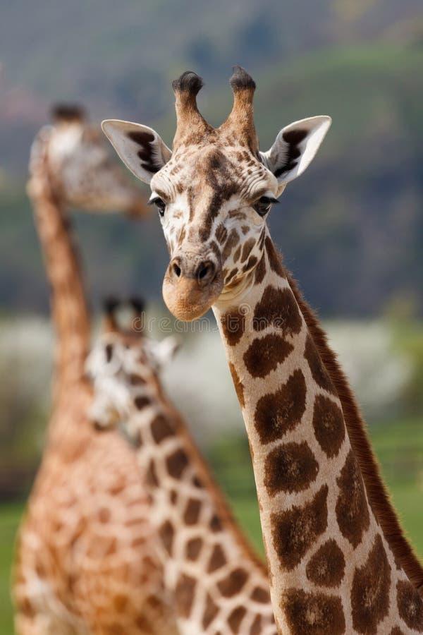 Giraffe, Terrestrial Animal, Wildlife, Giraffidae royalty free stock photos