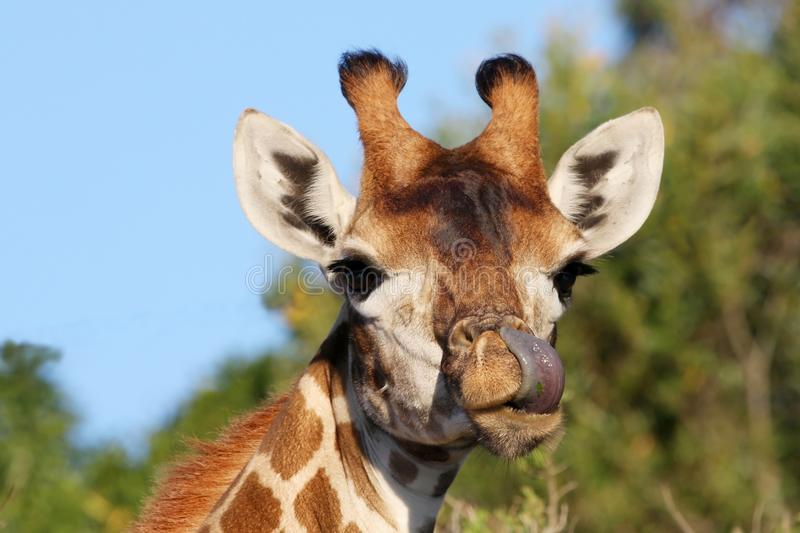 Giraffe and Tongue royalty free stock images