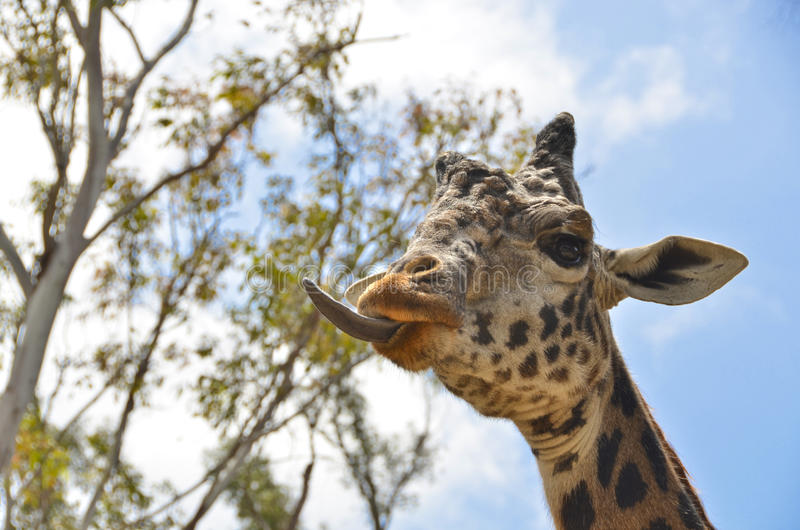 Giraffe tongue. The giraffe (Giraffa camelopardalis) is an African even-toed ungulate mammal, the tallest living terrestrial animal and the largest ruminant. Its stock images