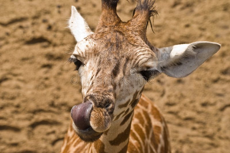 Giraffe and tongue royalty free stock photography