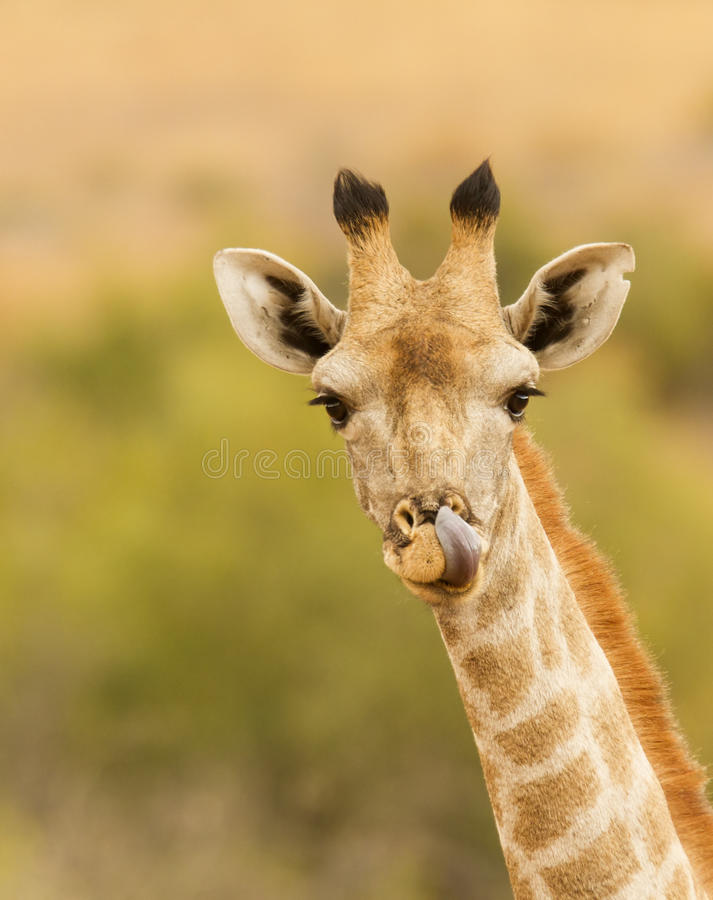 Giraffe with tounge out. Lovely portrait image of Giraffe with tounge out stock photo