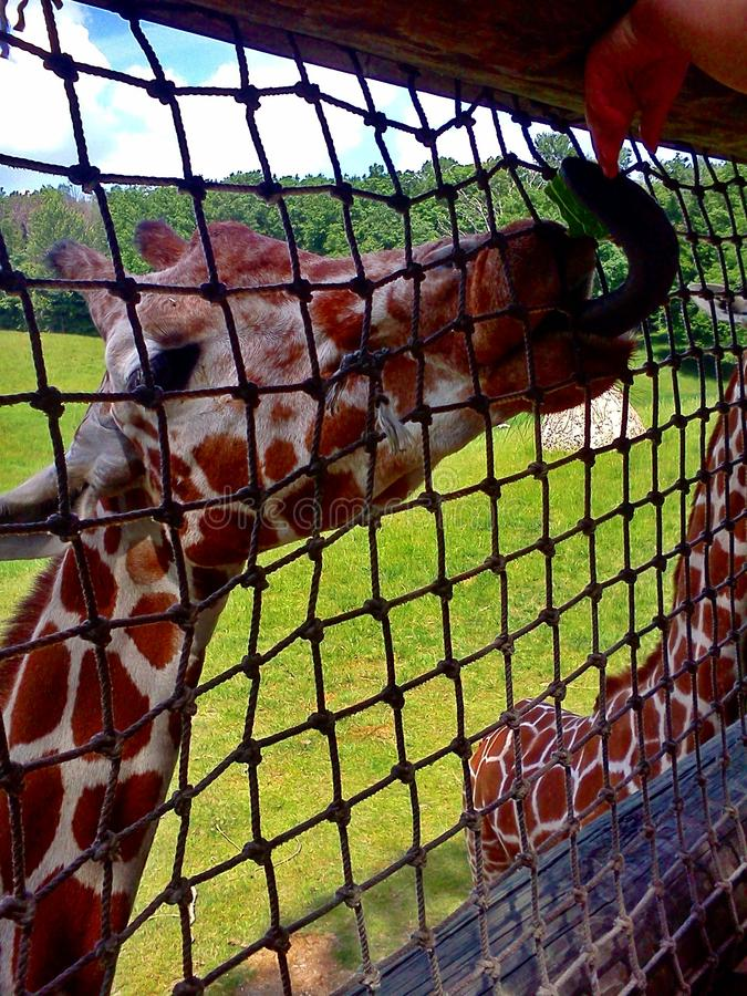 Giraffe Tounge. Giraffe uses tongue to try and get a tasty snack while at the zoo stock photo