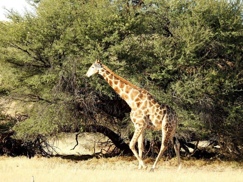 Giraffe Tree. Kalahari Desert, South Africa royalty free stock images