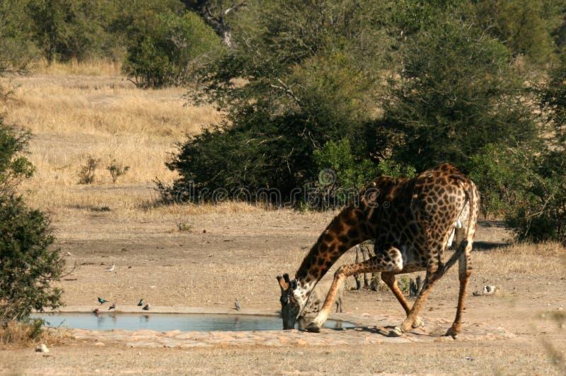Giraffe-Trinken stockfotos