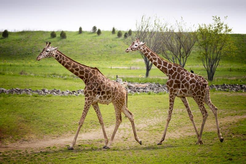 Giraffe. Two Giraffe walking across the Savanna royalty free stock image