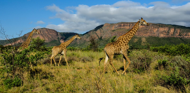 Giraffe in una riserva di caccia fotografia stock libera da diritti
