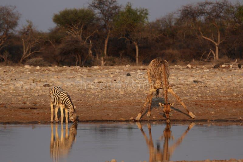 Giraffe und EbenenZebra lizenzfreies stockfoto