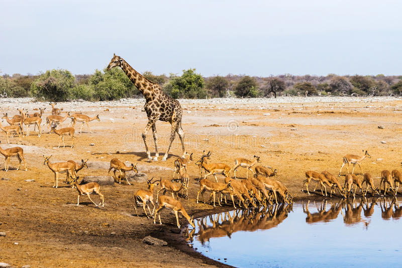 Giraffe und Schwarzes stellten Impalaherde an Chudop-waterhole in Nationalpark Etosha gegenüber lizenzfreie stockfotografie