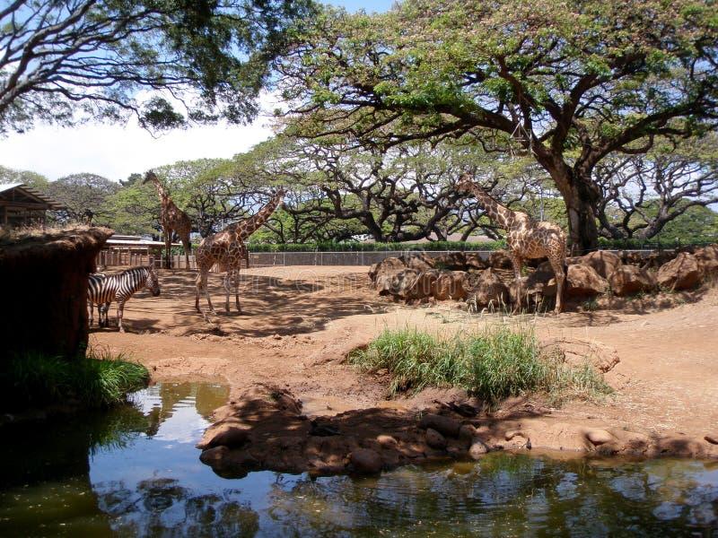 Giraffe und Zebra am Honolulu-Zoo lizenzfreies stockfoto