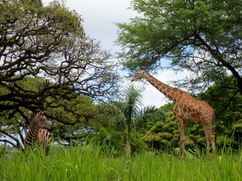 Giraffe und Zebra am Honolulu-Zoo stockfotos