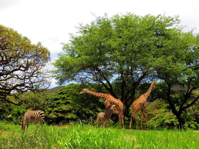 Giraffe und Zebra am Honolulu-Zoo lizenzfreie stockbilder