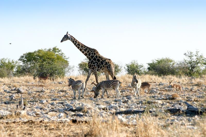 Giraffe und Zebras stockfotos