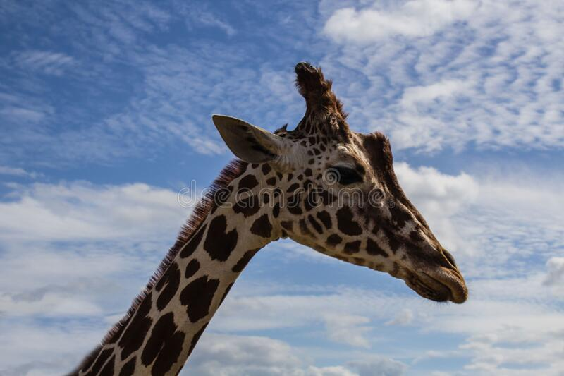 Giraffe under blue sky stock photos